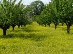 Kirschbäume bei Bonnieux